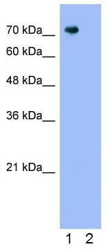 Western blot - Anti-Pannexin 2 antibody (ab55917)