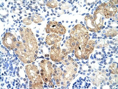 Immunohistochemistry (Formalin/PFA-fixed paraffin-embedded sections) - Anti-SOX15 antibody (ab55960)