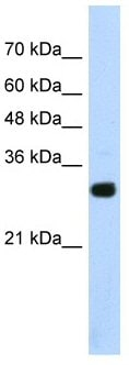 Western blot - Anti-SOX15 antibody (ab55960)