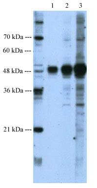 Western blot - BMP7 antibody (ab56023)