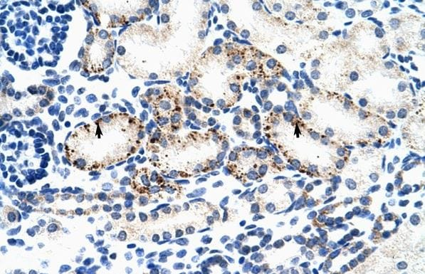 Immunohistochemistry (Formalin/PFA-fixed paraffin-embedded sections) - Anti-BMP7 antibody (ab56023)