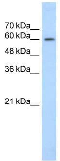 Western blot - Anti-EBF2 antibody (ab56048)