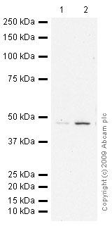 Western blot - Anti-S adenosylhomocysteine hydrolase antibody - Aminoterminal end (ab56146)