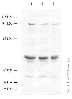 Western blot - Anti-Matriptase 2 antibody - Cytoplasmic domain (ab56180)