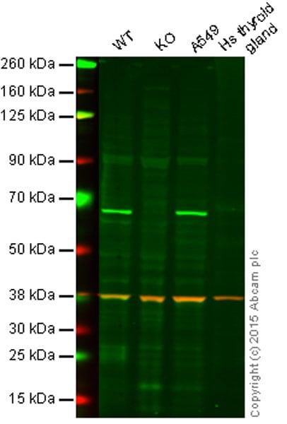 Western blot - Anti-N WASP antibody (ab56454)