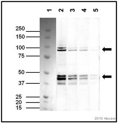 Western blot - Anti-TAF7 antibody (ab57494)