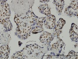 Immunohistochemistry (Formalin/PFA-fixed paraffin-embedded sections) - Anti-TAF7 antibody (ab57494)