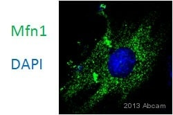 Immunocytochemistry/ Immunofluorescence - Anti-Mitofusin 1 antibody (ab57602)
