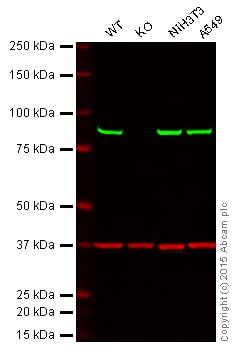 Western blot - Anti-VPS35 antibody (ab57632)