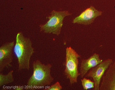 Immunocytochemistry/ Immunofluorescence - Anti-Twist2 antibody (ab57997)