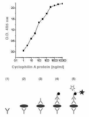 ELISA - Cyclophilin A antibody (ab58144)