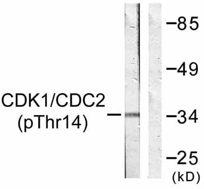Western blot - Anti-CDK1 (phospho T14) antibody (ab58509)