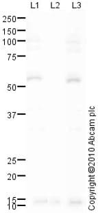 Western blot - Chk1 (phospho S345) antibody (ab58567)