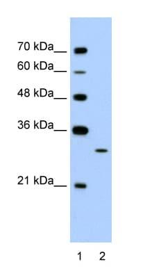 Western blot - Anti-EGFL8 antibody (ab58650)