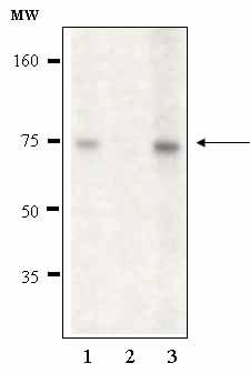 Western blot - Anti-ATG7 antibody (ab58735)