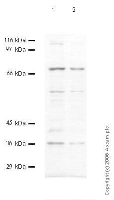 Western blot - Anti-Prolyl Endopeptidase antibody (ab58993)