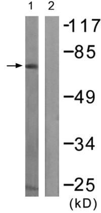 Western blot - Anti-Raf1 (phospho Y341) antibody (ab59223)