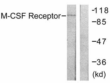 Western blot - Anti-MCSF Receptor antibody (ab59231)
