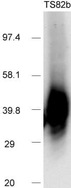 Western blot - Anti-CD82 antibody [TS82b] (ab59509)