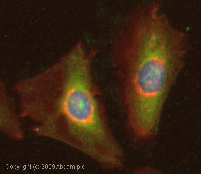 Immunocytochemistry/ Immunofluorescence - Anti-Peroxiredoxin 6 antibody (ab59543)