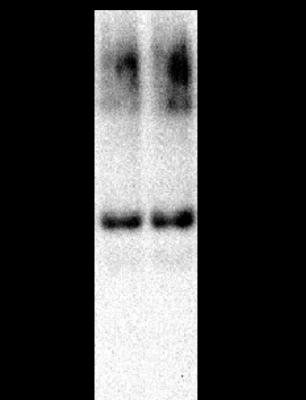Western blot - Anti-Peroxiredoxin 6 antibody (ab59543)