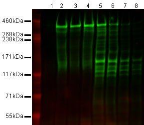 Western blot - Anti-Nestin antibody [Rat-401] - Neural Stem Cell Marker (ab6142)