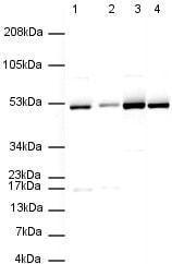 Western blot - Anti-Tubulin antibody [YL1/2] (ab6160)