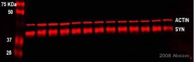 Western blot - Anti-beta Actin antibody [AC-15] (ab6276)