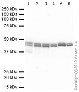 Western blot - Anti-CNPase antibody [11-5B] (ab6319)
