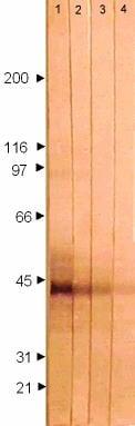 Western blot - Anti-HSV1 gG Envelope Protein antibody [7F5] (ab6511)