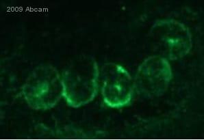Immunocytochemistry/ Immunofluorescence - Anti-pan Cadherin antibody (ab6529)