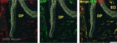 Immunohistochemistry (Frozen sections) - Anti-GFP antibody (ab6556)