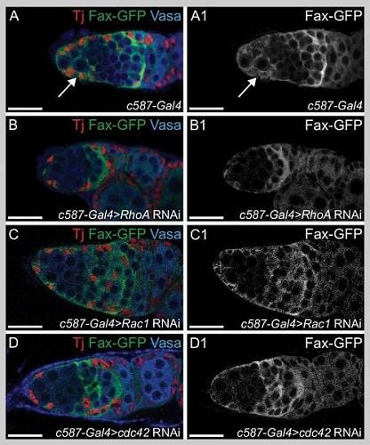 Immunohistochemistry (PFA fixed) - Anti-GFP antibody (ab6556)