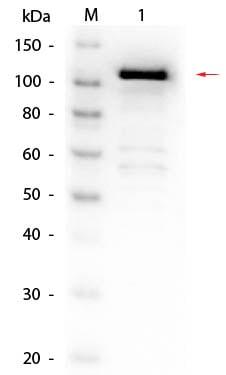 Western blot - Biotin Anti-beta Galactosidase antibody (ab6645)