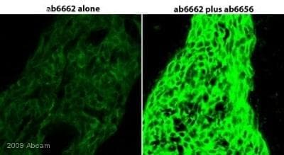 Immunohistochemistry (Frozen sections) - Anti-Fluorescein antibody (HRP) (ab6656)