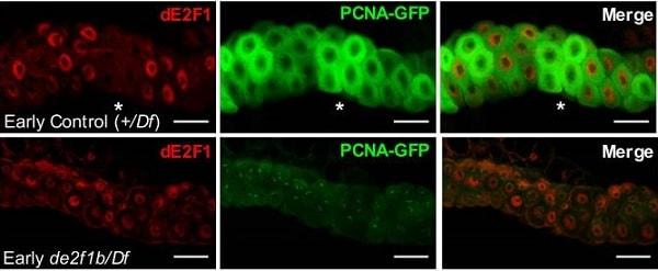 Immunofluorescence - FITC Anti-GFP antibody (ab6662)