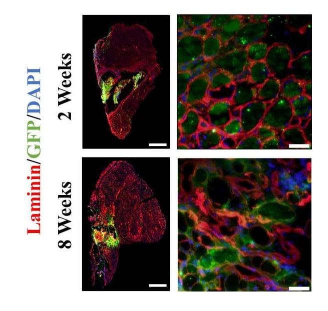 Immunohistochemistry (Frozen sections) - Anti-GFP antibody (ab6673)