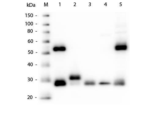 Western blot - Goat Anti-Mouse IgG H&L (ab6708)