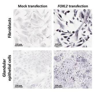 Immunocytochemistry/ Immunofluorescence - Goat Anti-Rabbit IgG H&L (Biotin) (ab6720)