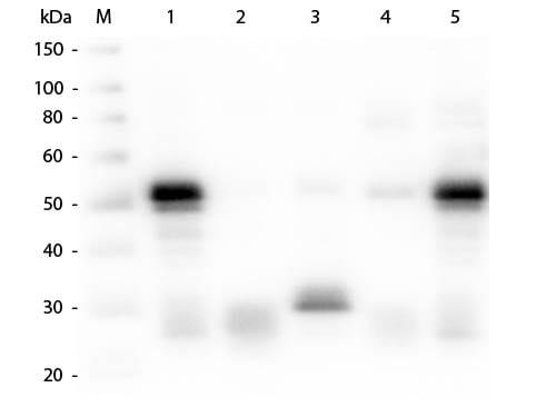 Western blot - Goat Anti-Rabbit IgG H&L (Alkaline Phosphatase) (ab6722)