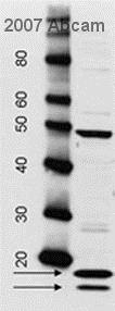 Western blot - Rabbit Anti-Sheep IgG H&L (HRP) (ab6747)