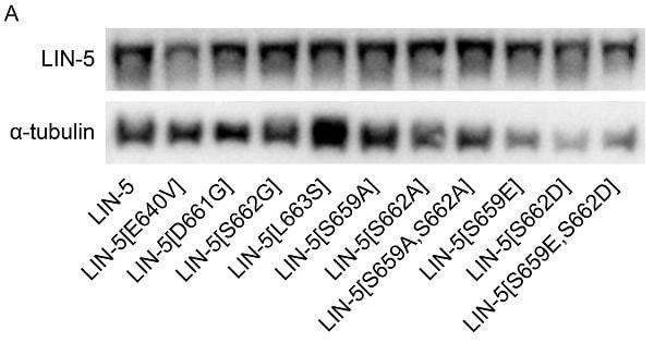 Western blot - Donkey Anti-Mouse IgG H&L (HRP) (ab6820)