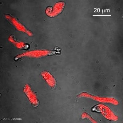 Immunocytochemistry/ Immunofluorescence - Goat Anti-Chicken IgY H&L (Texas Red ®) (ab6875)