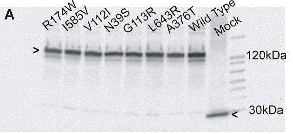 Western blot - Donkey Anti-Goat IgG H&L (HRP) (ab6885)