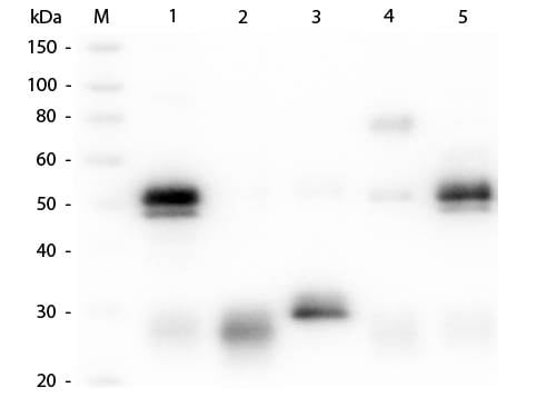 Western blot - Goat Anti-Rabbit IgG H&L (Cy3 ®) preadsorbed (ab6939)