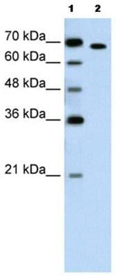 Western blot - Anti-ROR alpha antibody (ab60134)