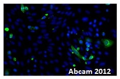 Immunocytochemistry/ Immunofluorescence - Anti-Ephrin A5 antibody (ab60705)