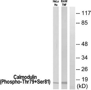 Western blot - Anti-Calmodulin (phospho T79 + S81) antibody (ab61001)