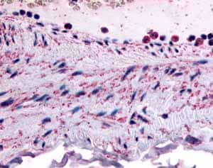 Immunohistochemistry (Formalin/PFA-fixed paraffin-embedded sections) - Anti-PTPMT1 antibody (ab61037)