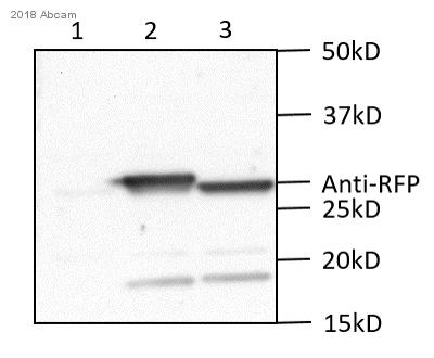 Anti-mCherry Antibody Pre-Adsorbed 600-401-P16